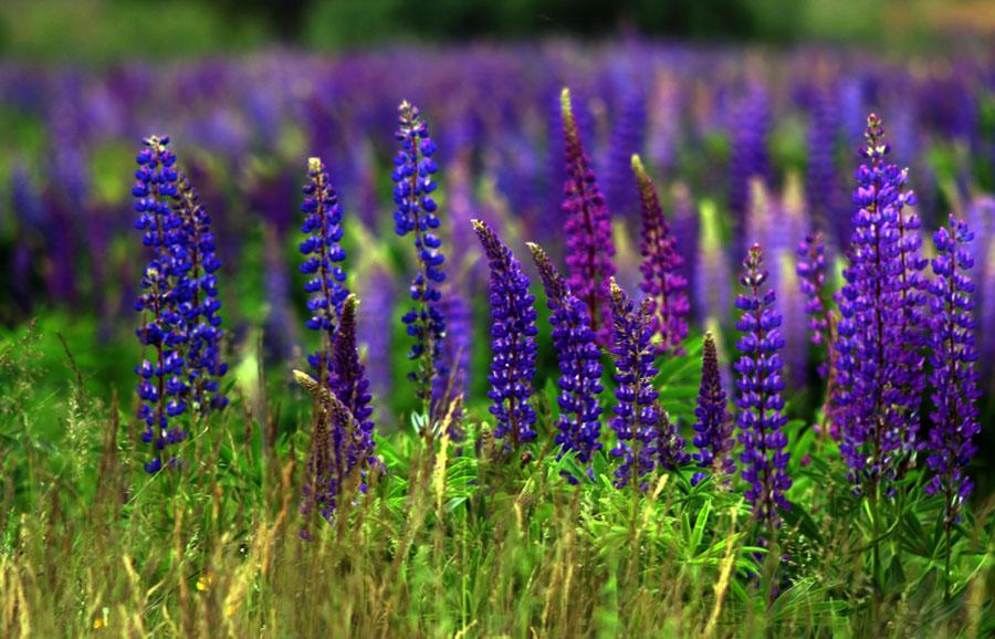 Purplish blue lupin цветы люпины информация